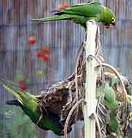 Photo: =Green headed conure oversees feeding