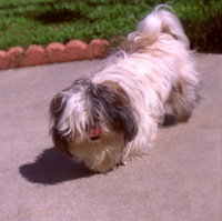 Photo: Que the Shih Tzu